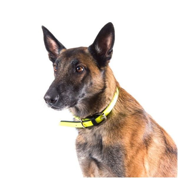 dog wearing a reflective collar