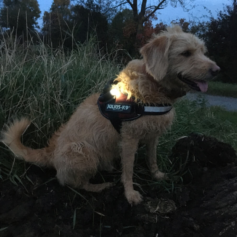 dog at night wearing the LED Bullet light