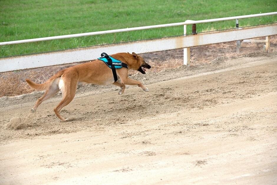 IDC® Powerharness Greyhound Speed Test