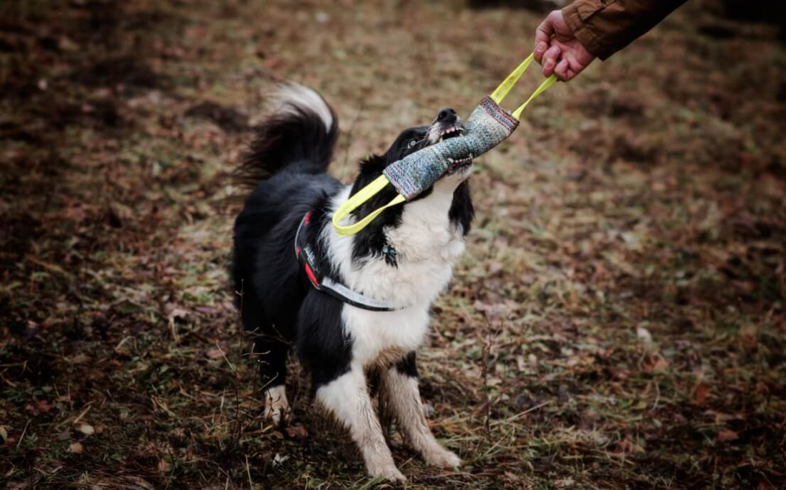 How and why you should play tug games with your dog