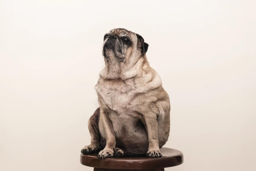 What To Do If Your Dog Is Overweight