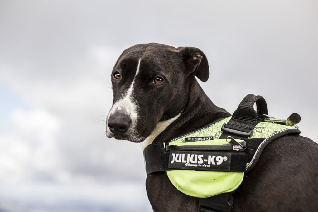 How to fit the Julius K9® Universal Small Side Bags to dog harnesses