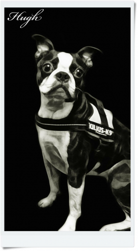 Boston Terrier with his Julius k9 harness