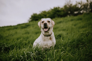 labrador on hill outdoors