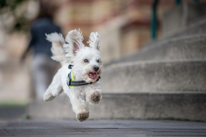 dog running wearing a harness