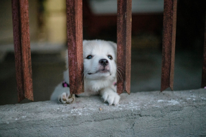 white puppy behind bars