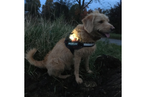 dog wearing safety light at dusk in a field