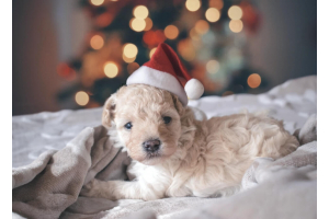 puppy in santa hat on bed