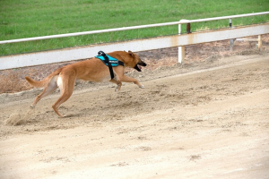 greyhound undertaking speed test with IDC dog harness