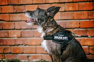 dog wearing idc powerharness in front of brickwall