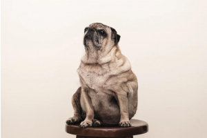 overweight pug on a stall