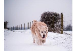 dog walking through snowy field