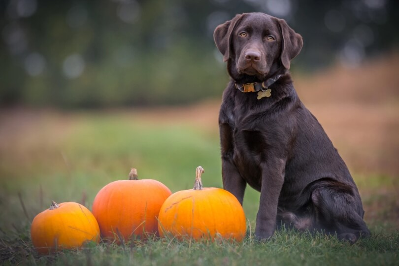 dog surrounded by halloween pumpkins