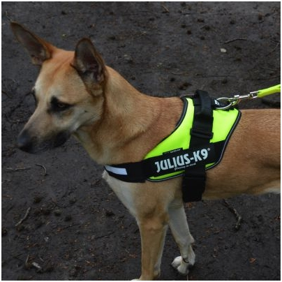 dog wearing a high vis harness