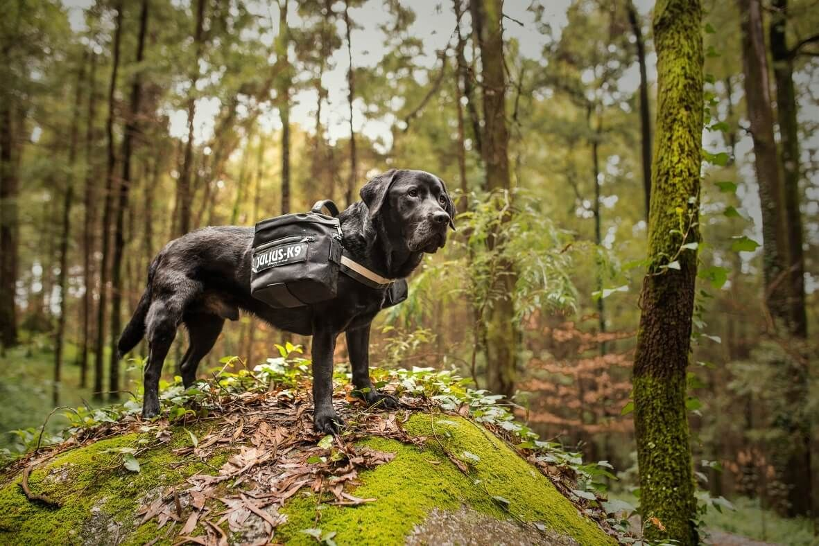 dog wearing saddle bags in woods
