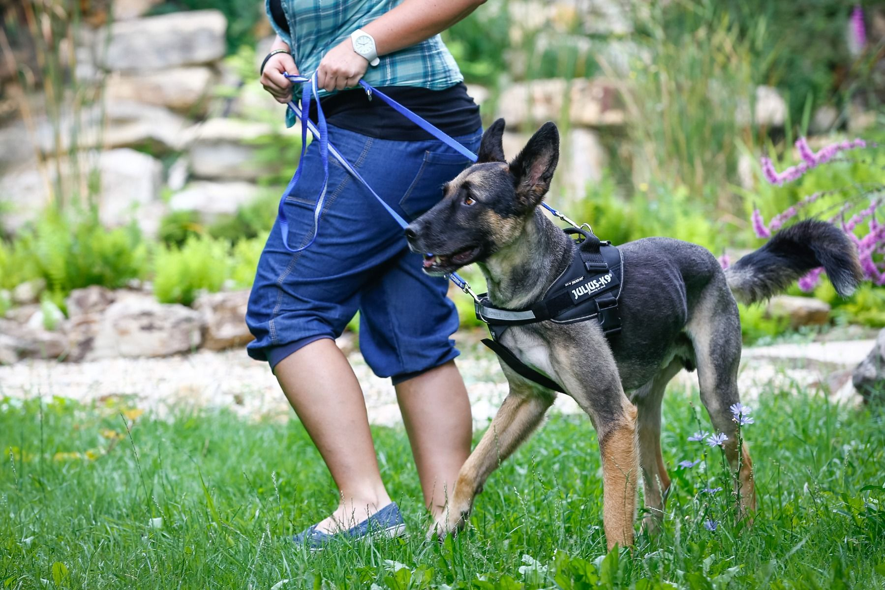 dog wearing a duel-clip harness for double lead attachment
