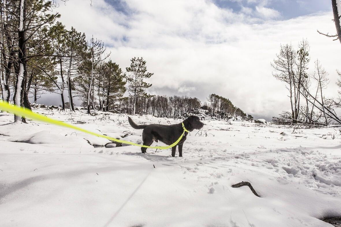 Dog in snow wearing the IDC Lumino Dog Leash