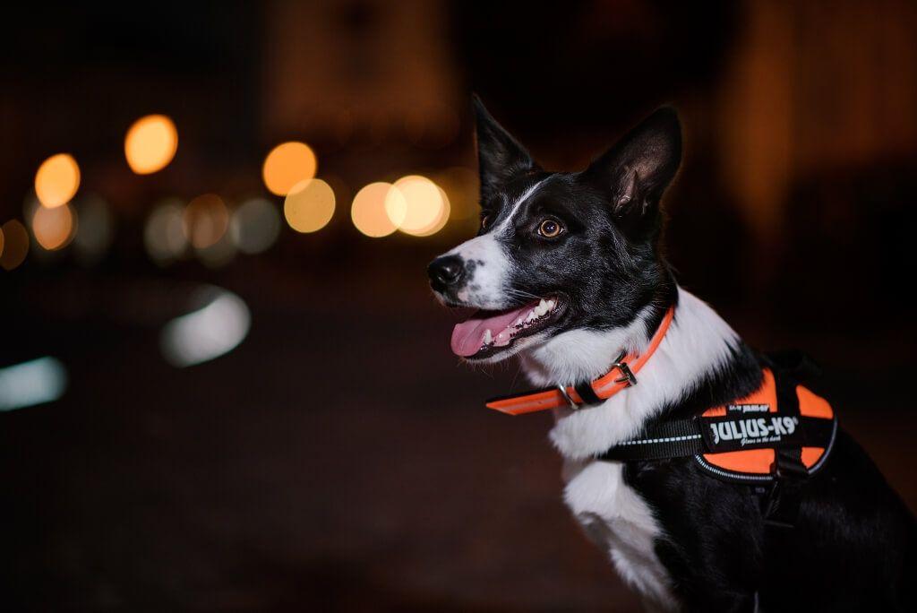 dog on street at night wearing the IDC Lumino Dog Collar