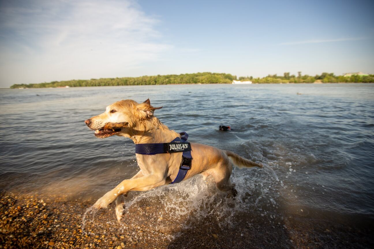 dog with stick in lake wearing IDC belt harness