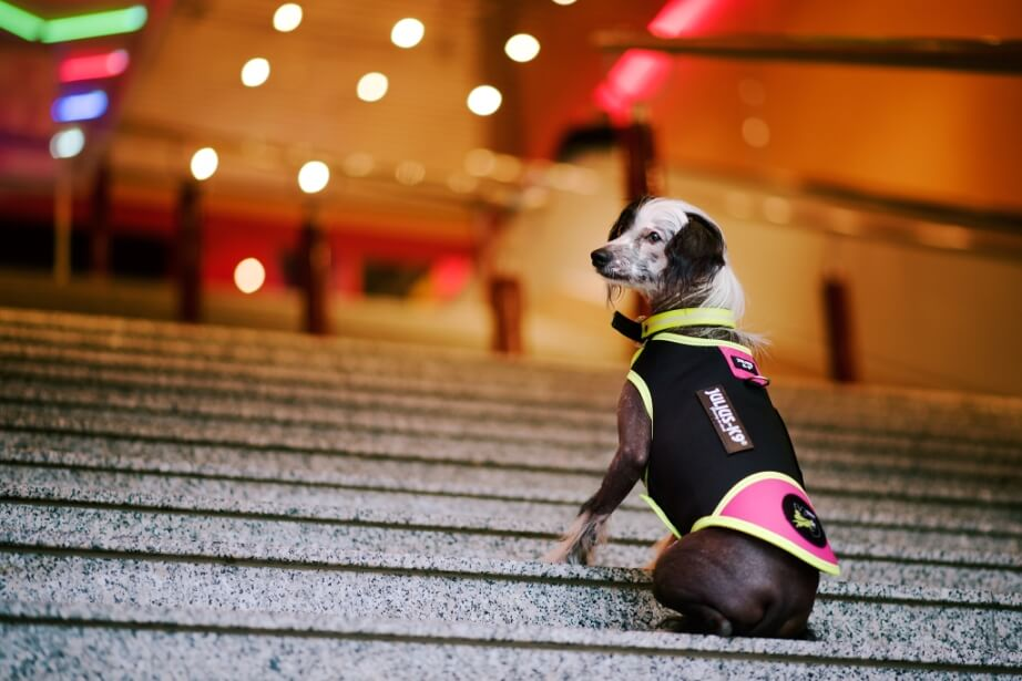 dog in idc waterproof vest on stairs