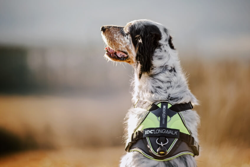 dog wearing idc longwalk harness in a field