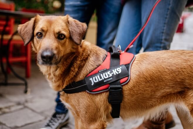 red idc poweair dog harness worn by dog
