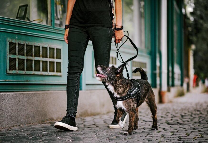 dog on leash using a back harness lead