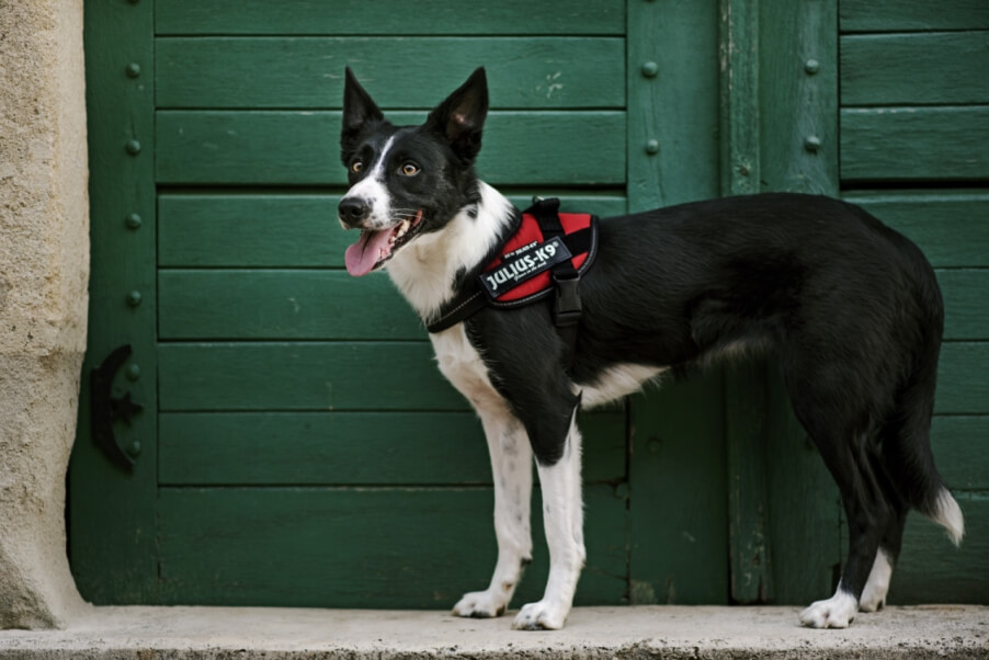dog wearing a harness on the street