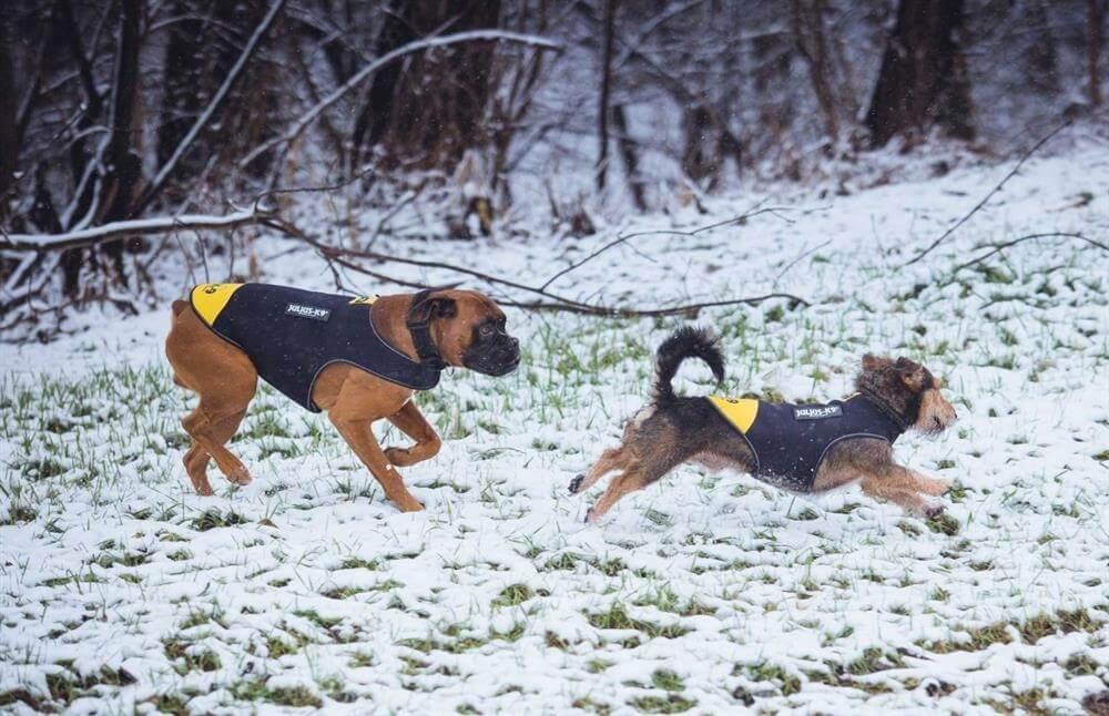 two dogs in coats running around in snow