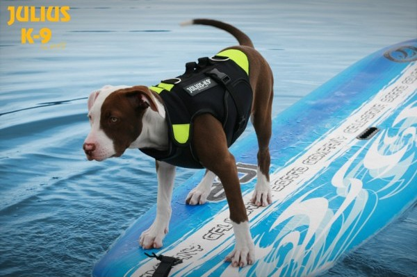 dog surfing in life jacket harness